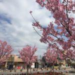 南鳩ヶ谷駅前桜満開!(2016年春)