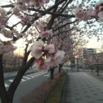 川口元郷駅の安行桜が見頃です!(20170304)
