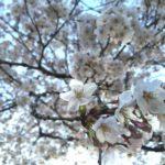 三ツ和公園の桜ほぼ満開!(20170404)