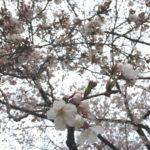 三ツ和公園の桜七分咲き(20170401)