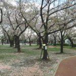 三ツ和公園の桜吹雪と桜の絨毯!(20170413)