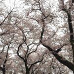 三ツ和公園の桜満開です!(20170408)