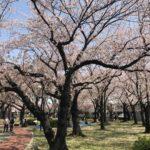 三ツ和公園の桜散り始め(20180331)