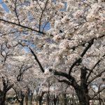三ツ和公園の桜満開、お花見日和です!(20180328)