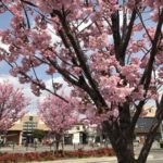 南鳩ヶ谷駅前の桜が満開です!(20180324)