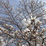 2018年三ツ和公園の桜情報(20180324)