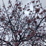 2018年川口元郷駅前の安行桜情報(20180305)